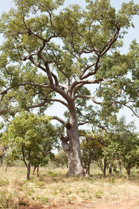 Caïlcédrat trônant dans le champ cultivé par l'AADB