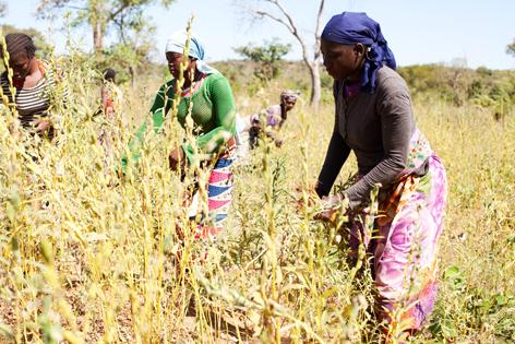 Récolte du sésame en 2015