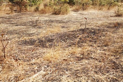 Brulis après un feu de brousse
